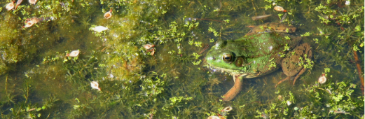 frog in protected wetland